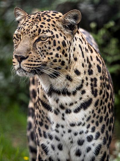 'Leopard 2'
