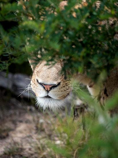 'Lion 2'