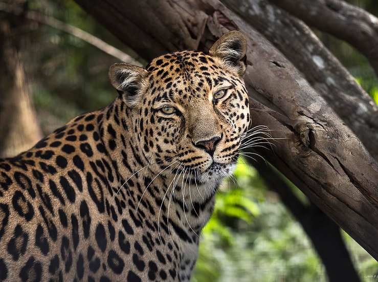 'Leopard 1'