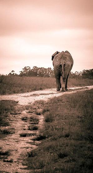 African bush elephant 5