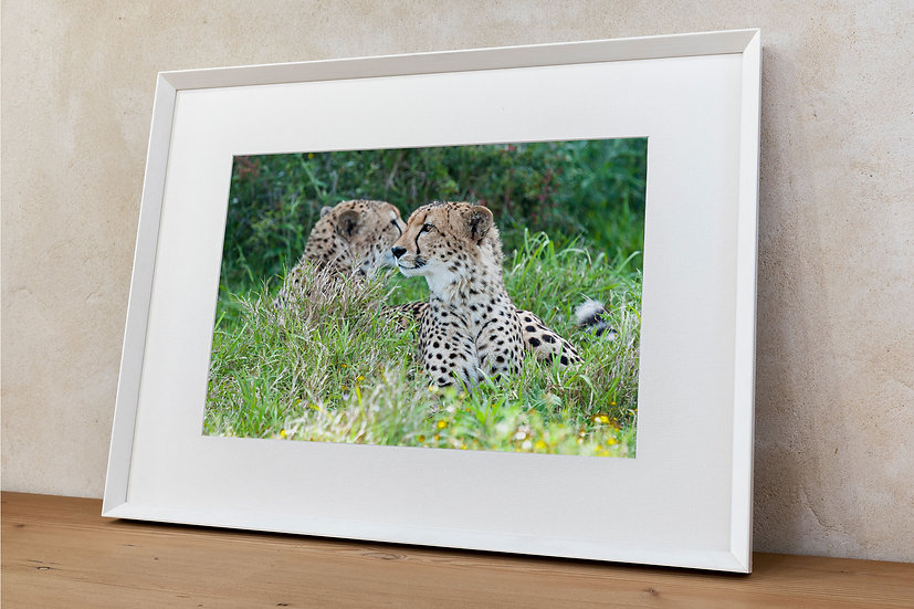 'cheetah 1'