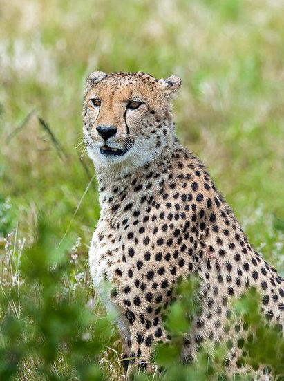 'cheetah'