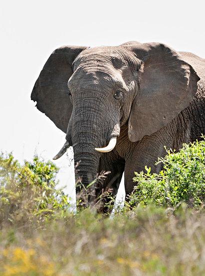 'elephant 1'