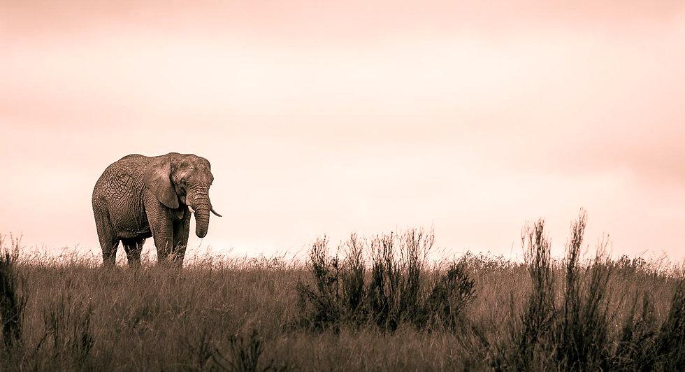 African bush elephant 2