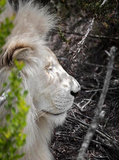 'Lion 1'