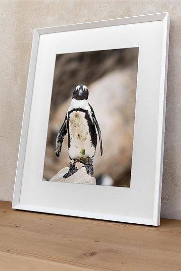 'African penguin 1'