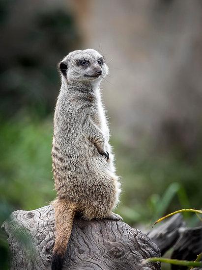 'Meerkat'
