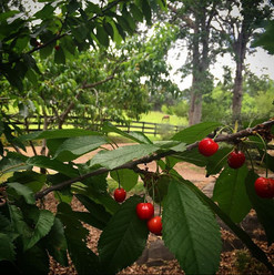 A fruit orchard and pasture in Three Rivers, California #RanchLife #TheKaweahCoalition