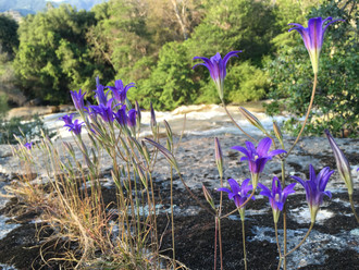 The rare, endangered Kaweah Brodiaea flower grows along the South Fork of the Kaweah River, Three Rivers, California #RanchLife #TheKaweahCoalition