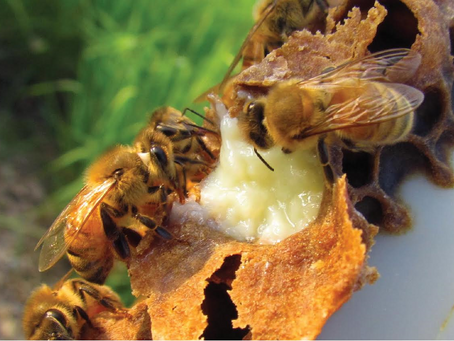 Queen Bees Love Their Royal Jelly and You Should Too