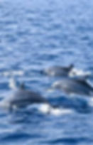 dolphin watching kalpitiya.jpg