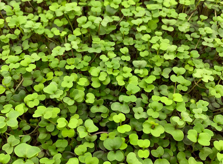 Microgreens: The immune-boosting super food
