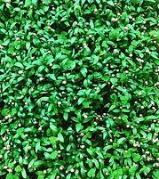 best cilantro.JPG