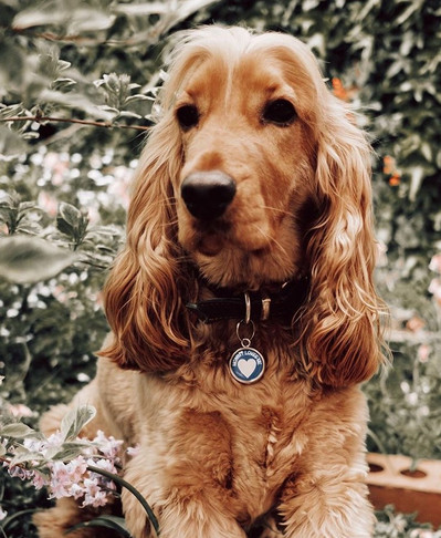 Spaniel dog wearin a blue love heart pet tag by pawesome pet tags