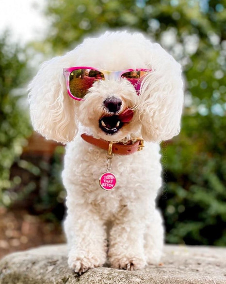 Bichon Frise wearing sun glasses and a pink dog ID tag by Pawesome Pet Tags