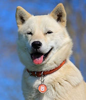 White Shiba Inu dog wearing a custom dog tag from Pawesome Pet Tags