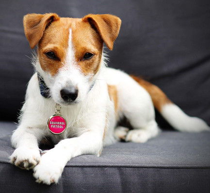 Jack Russel wearing a pink squirrel patrol dog ID tag by Pawesome Pet Tags