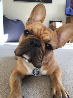 French Bulldog wearing a custom dog
