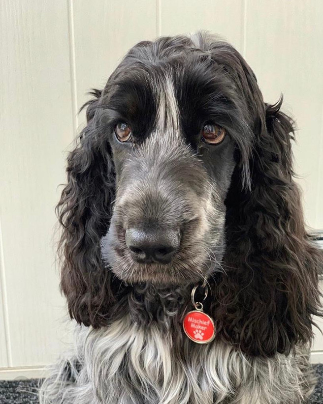 Spaniel dog wearing a funny red dog tag by pawesome pet tags