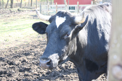 Sammy the Steer wants to say HI!