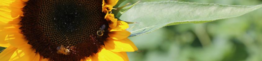 SunflowerBrownCenterwithBee.JPG
