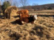farm.cows.jpg