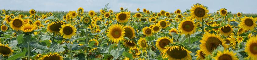 Sunflowerfieldwithclouds.jpg
