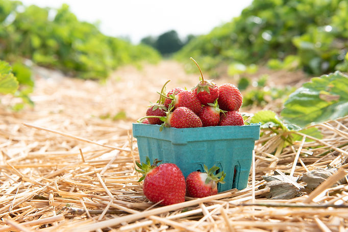 Ort_Fields-Strawberries-5779.jpg