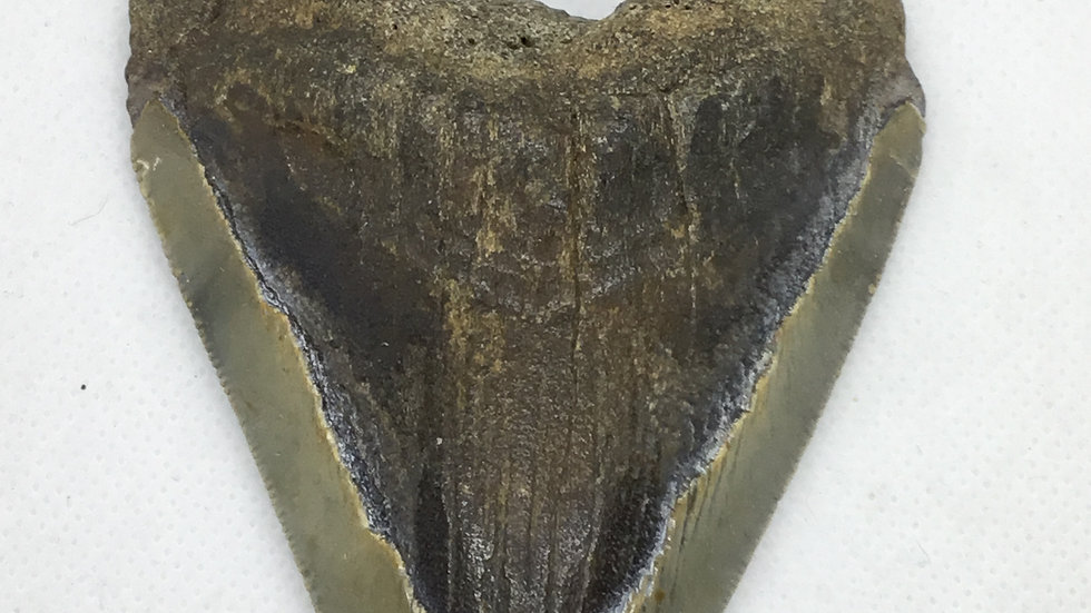 MegalodonTooth #004