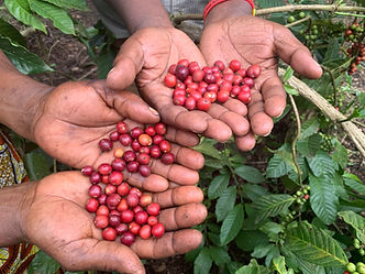 coffee cherries and hands.jpg