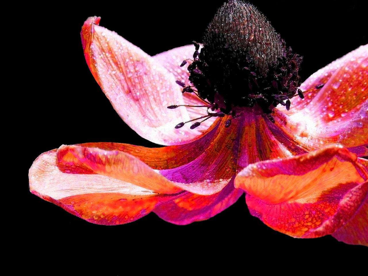 Pink Poppy_edited-1.jpg