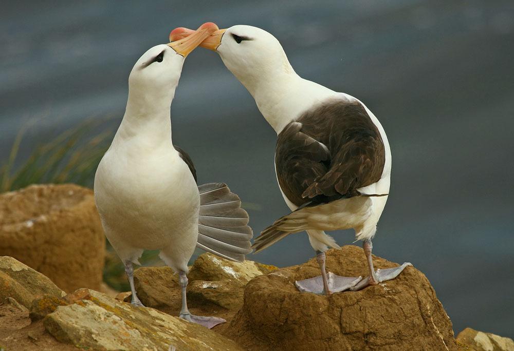 Black-Browed Albatross(FK)