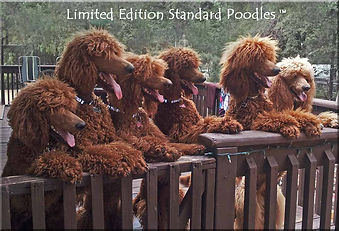 The Poodle Pack – Apricot & Red Standard Poodles Scottsdale AZ