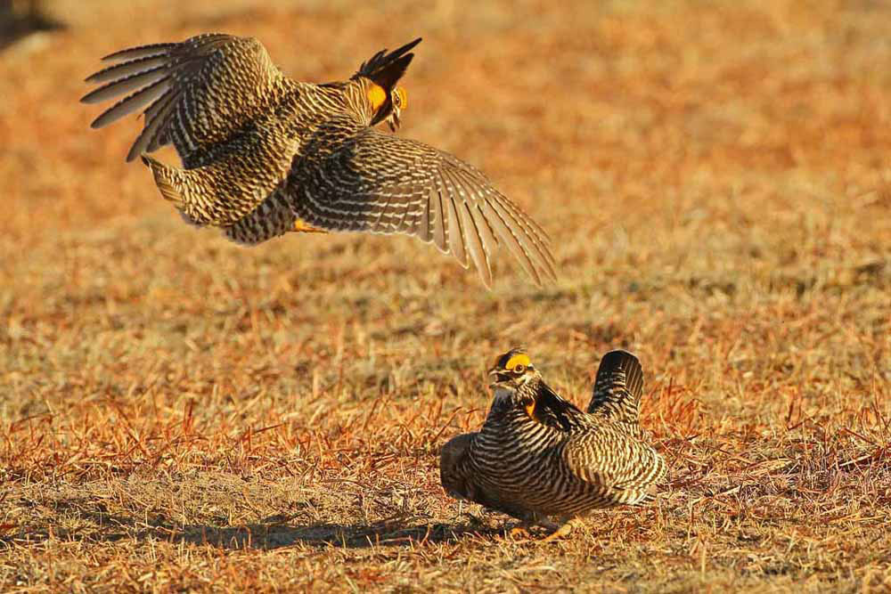 Gtr Prairie-Chicken (USA)