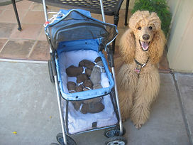 Mom with Puppies in Stroller – breed standard poodles Scottsdale, AZ