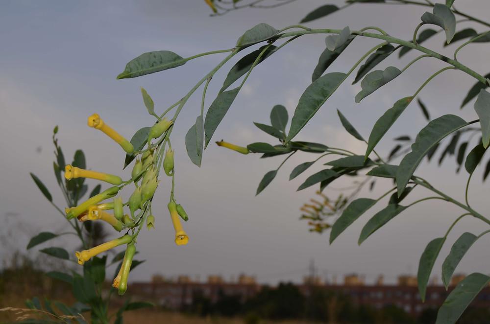 Gandul (Nicotiana glauca).