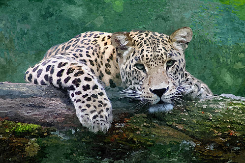 """Snow Leopard"" Fine Art Print"