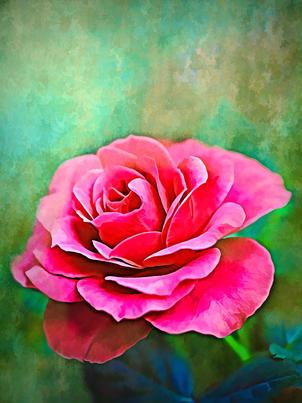 Exquisite Pink Rose