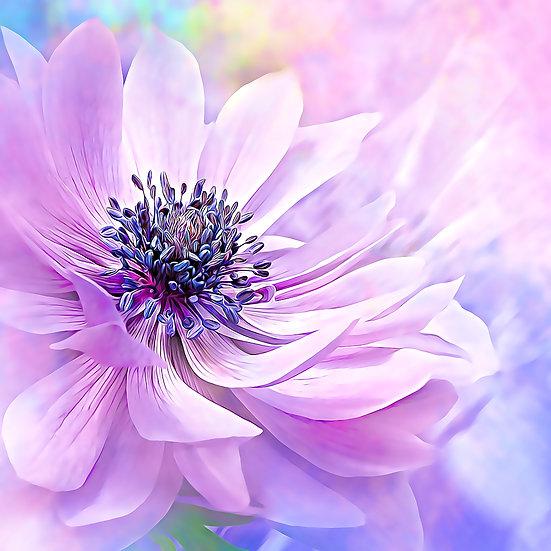 """Wispy Purple Anemone"" Fine Art Print - 12"" x 12"""