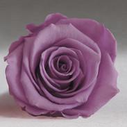 Violett Rose.jpg