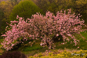"Barbara Soares   ""Cherry Blossoms"""