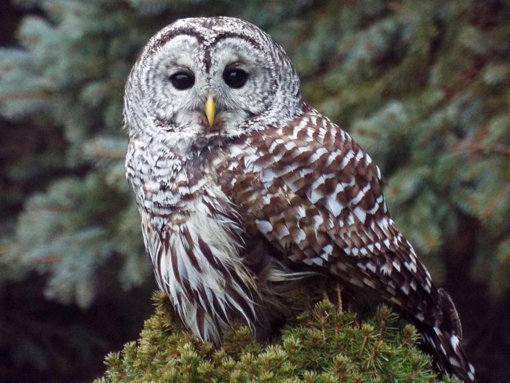Rose Schwartz - Barred Owl