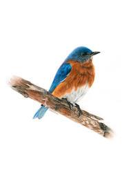 "Christina Maschke    ""Eastern Bluebird"""