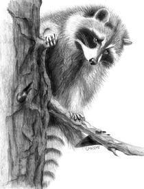 "Christina Maschke    ""Raccoon"""