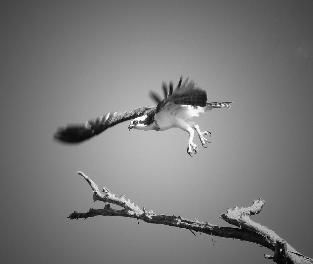 """Dawn O'Creene - Osprey - """"Lift Off"""""""