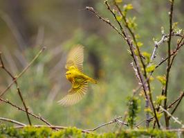 "John Foley   ""Warbler In Flight"""