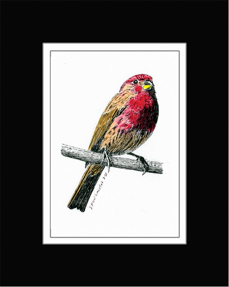 Paul Kmiotek - House Finch