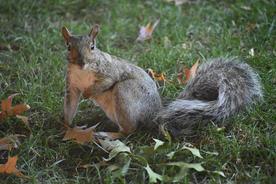 """Sarah Kwashnak   """"Autumn Squirrel"""""""