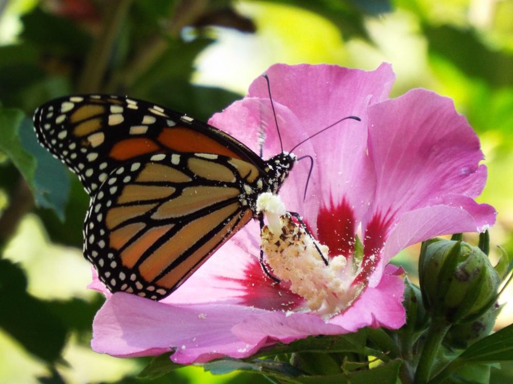 Rose Schwartz - The Pollinator