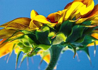Linda T Hubbard Sunflower Intimate Photo 16x20 $180.jpg